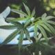 Mooi oud worden met Dr. K. dankzij het superieure werkstof Cannabis Sativa - No Nonsense Beauty